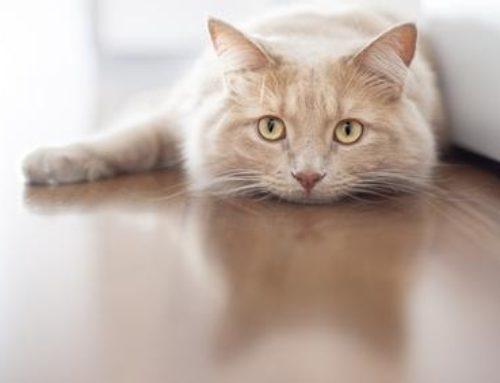 Le chat ressent-il la jalousie ?
